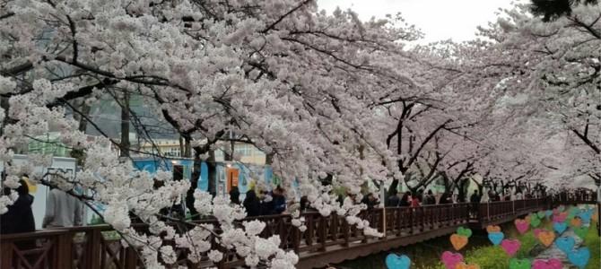 Jinhae Cherry Blossom Festivali
